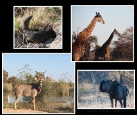 There is an abundance of marvellous creatures to feast your eyes on - clock wise from the top monitor lizard, giraffe, gnu, kudu
