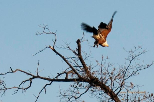 Fishing Eagle.jpg