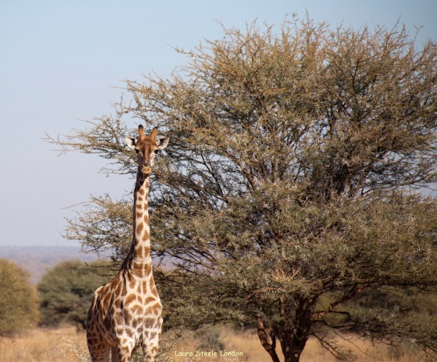 if you see one giraffe, there will be more.jpg