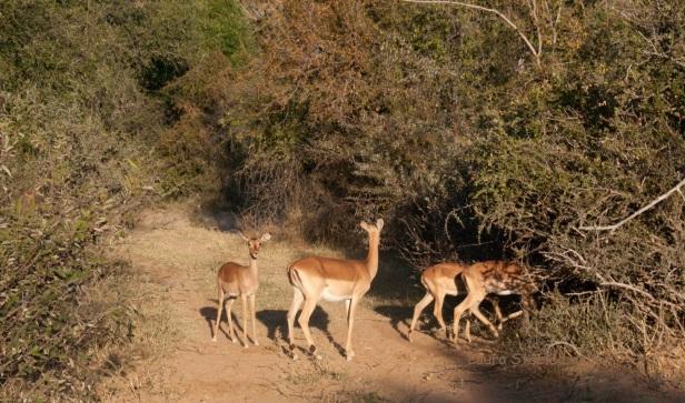 Impala - abundant but nonetheless exquisitely beautiful.jpg