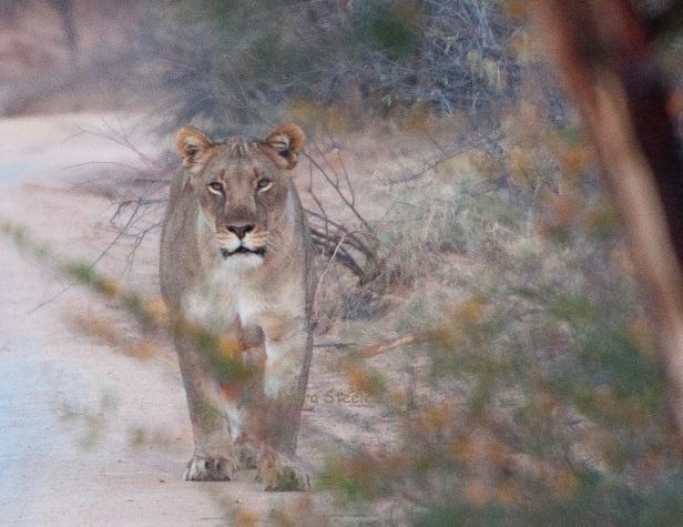 Lioness near camp.jpg