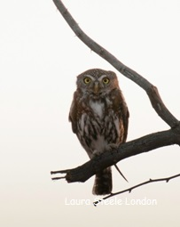 Pearl Spotted Owl close up
