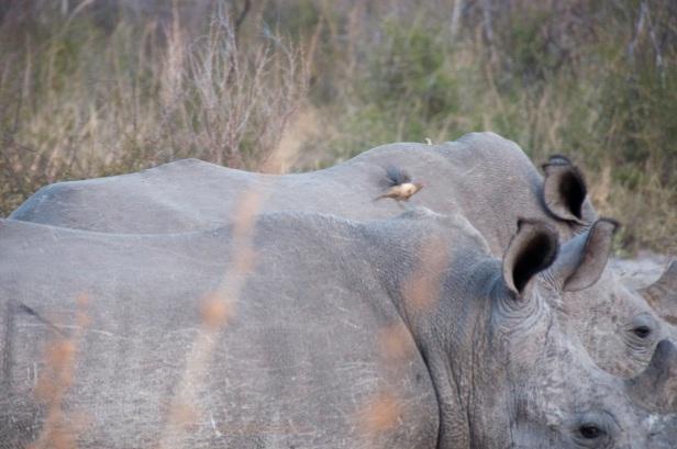 rhino and bird.jpg