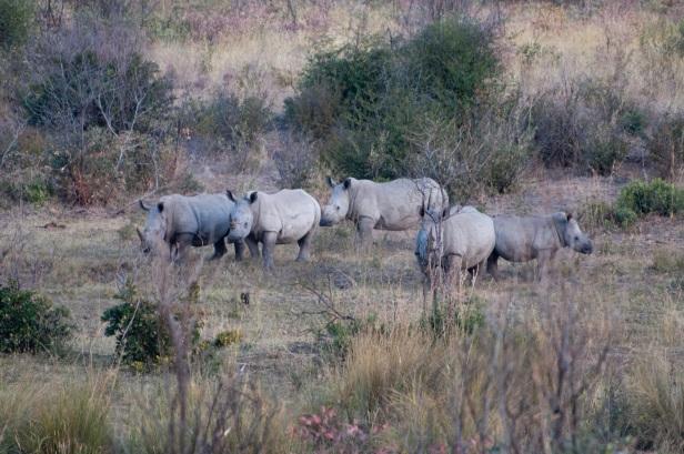 rhino herd.jpg