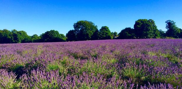 lavender-mayfield